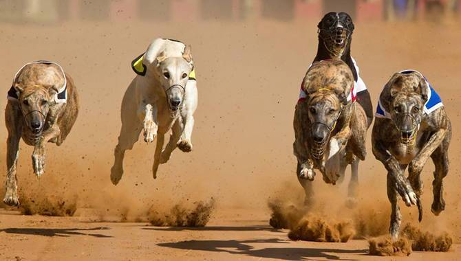 Irish greyhound derby betting 2021 corvette sbg sports betting